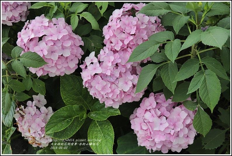 赤柯山繡球花-2018-06-41.jpg