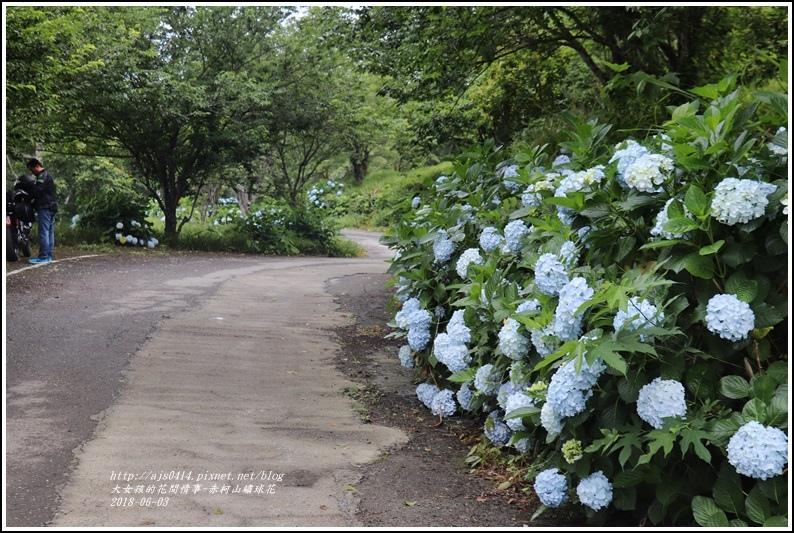 赤柯山繡球花-2018-06-56.jpg