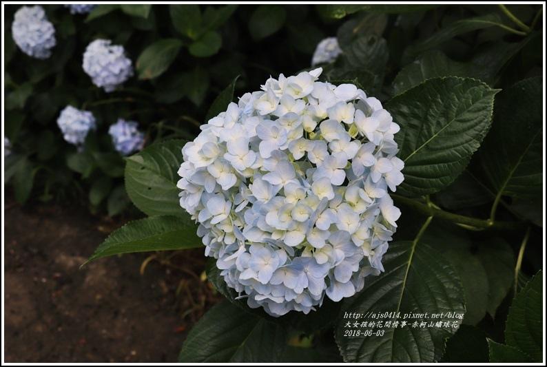 赤柯山繡球花-2018-06-61.jpg