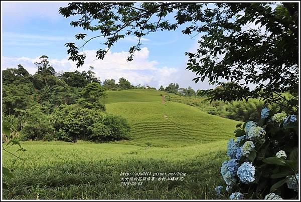赤柯山繡球花-2018-06-65.jpg