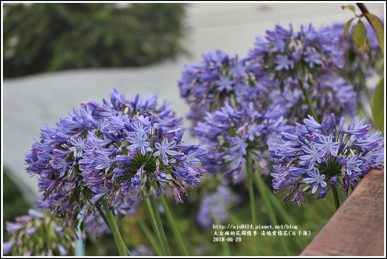 清境愛情花(百子蓮)-2018-06-09.jpg