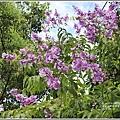 大花紫薇-2018-06-06.jpg
