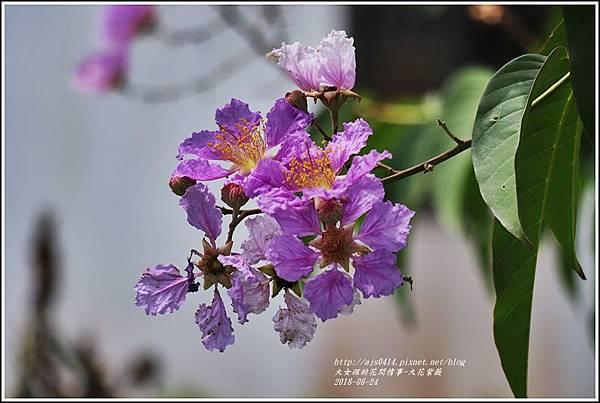 大花紫薇-2018-06-09.jpg