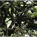 鸞山部落(會走路的樹)-2018-08-18.jpg