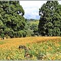 赤柯山金針花(小瑞士農場)-2018-08-10.jpg