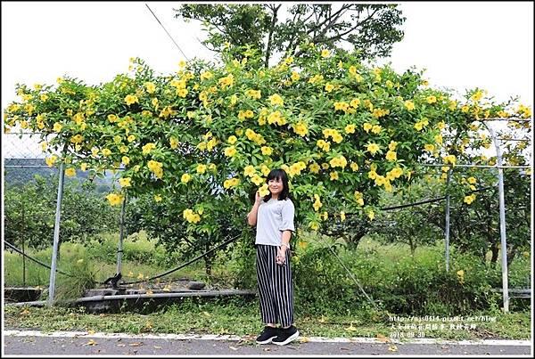 軟枝黃蟬-2018-09-13.jpg