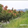 富興防汛八號道路台灣欒樹-2018-09-09.jpg