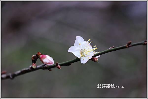 羅山瀑布梅園-2019-01-07.jpg