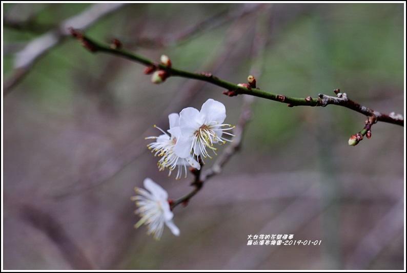 羅山瀑布梅園-2019-01-08.jpg