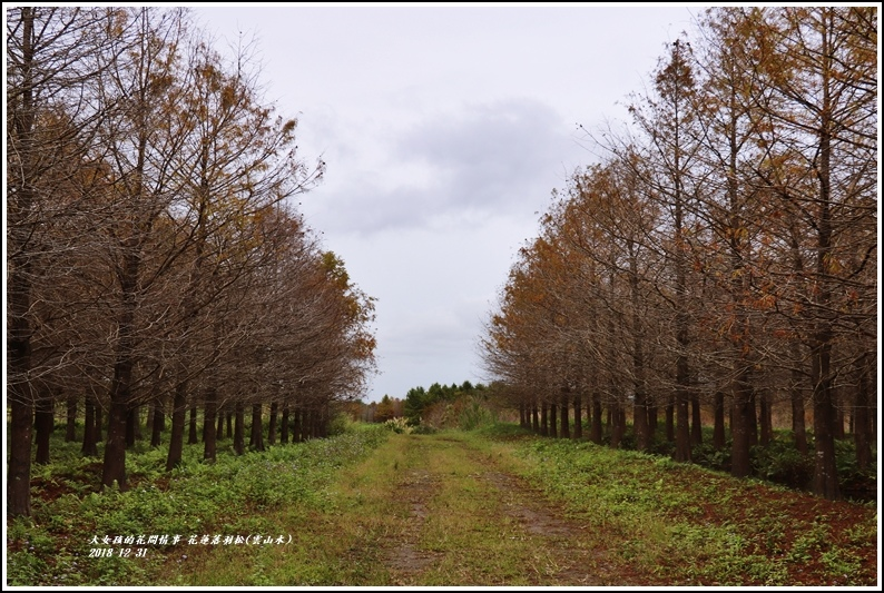 花蓮落羽松(雲山水)-2018-12-15.jpg