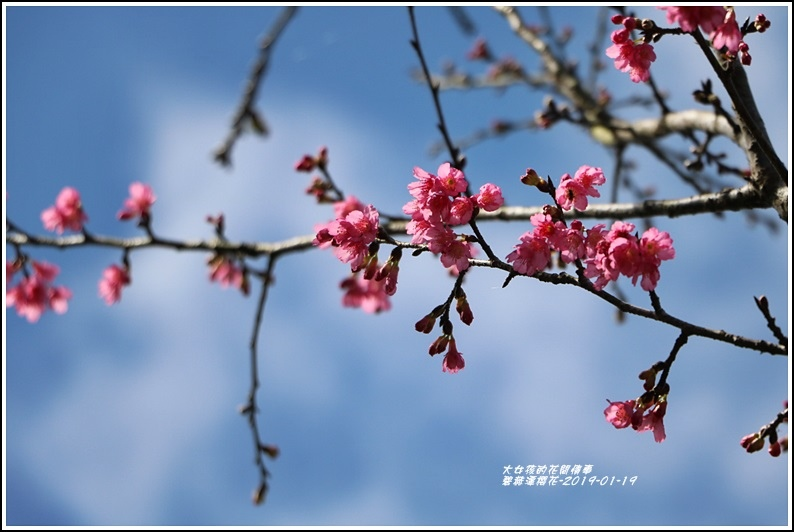 碧赫潭櫻花-2019-01-38.jpg