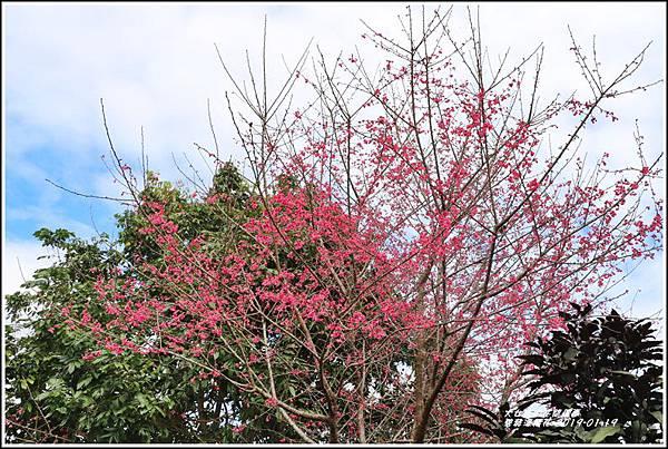 碧赫潭櫻花-2019-01-43.jpg