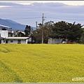 關山油菜花田-2019-01-03.jpg