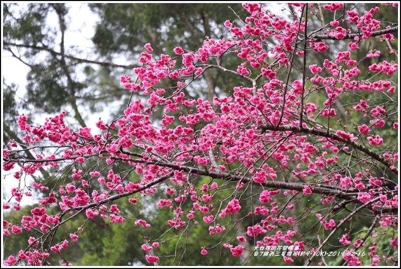 台7線丙三星櫻花-2019-02-03.jpg