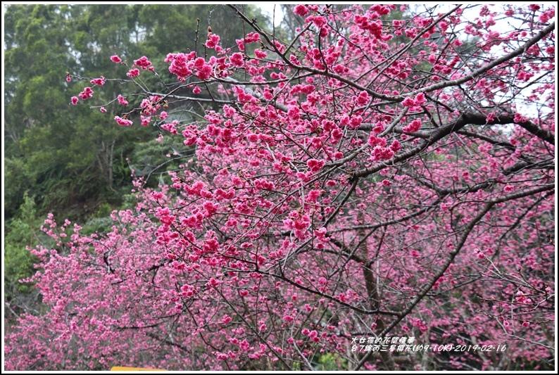 台7線丙三星櫻花-2019-02-04.jpg