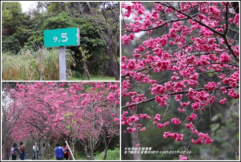 台7線丙三星櫻花-2019-02-51.jpg