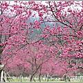 大同崙埤河濱櫻花公園-2019-02-25.jpg