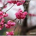 大同崙埤河濱櫻花公園-2019-02-28.jpg