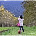 興泉圳(富源國中)黃花風鈴木-2019-02-14.jpg