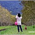 興泉圳(富源國中)黃花風鈴木-2019-02-15.jpg