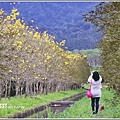 興泉圳(富源國中)黃花風鈴木-2019-02-16.jpg