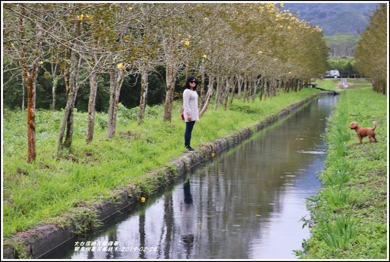 興泉圳(富源國中)黃花風鈴木-2019-02-24.jpg