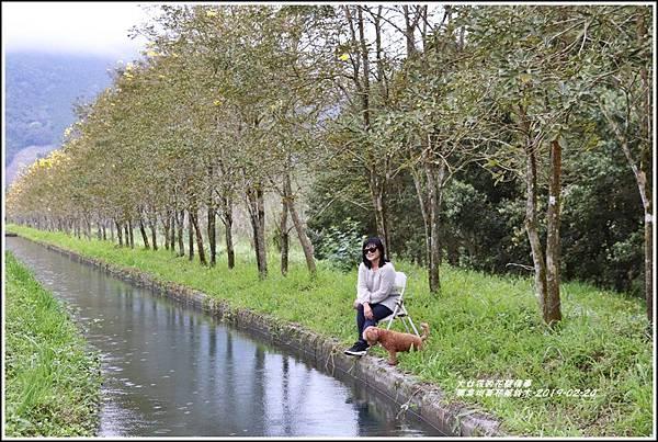 興泉圳(富源國中)黃花風鈴木-2019-02-31.jpg