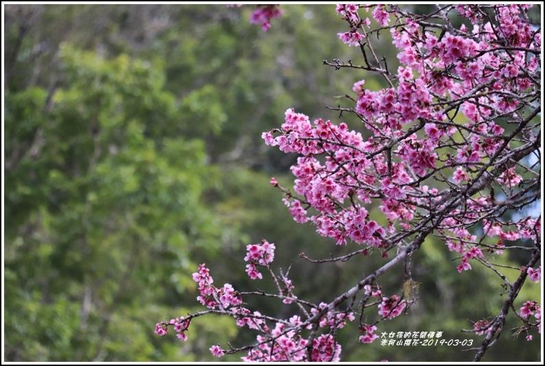 赤柯山櫻花-2019-03-07.jpg