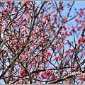 赤柯山櫻花-2019-03-18.jpg