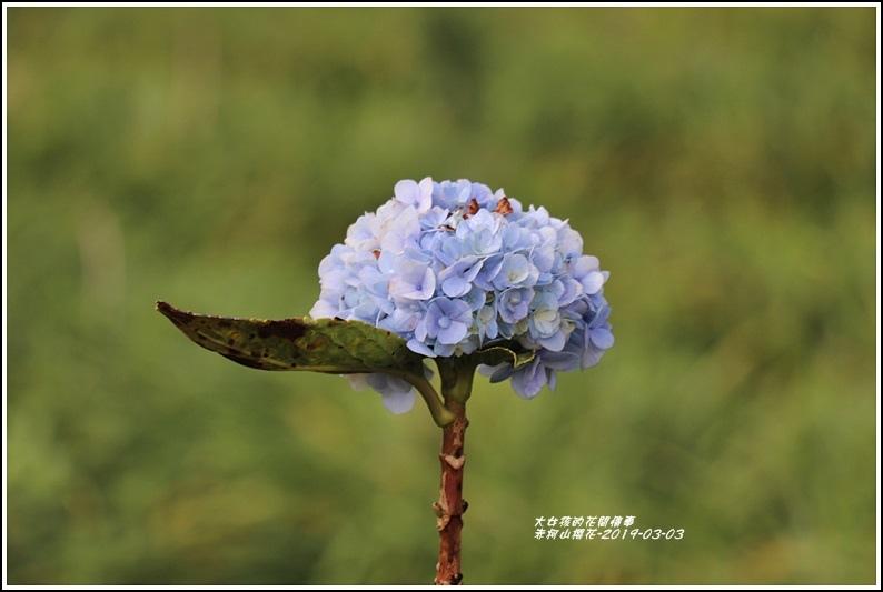 赤柯山櫻花-2019-03-24.jpg