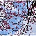 赤柯山櫻花-2019-03-44.jpg