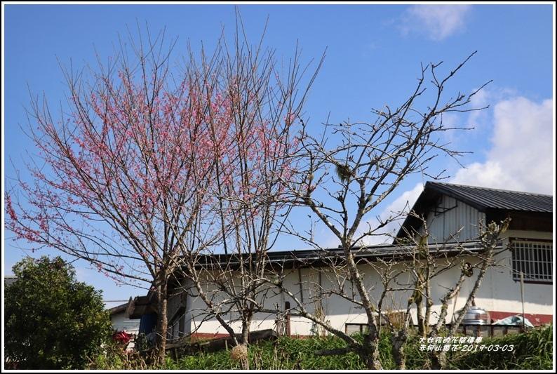 赤柯山櫻花-2019-03-69.jpg