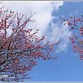 赤柯山櫻花-2019-03-91.jpg