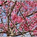 赤柯山櫻花-2019-03-102.jpg