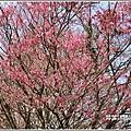 赤柯山櫻花-2019-03-106.jpg