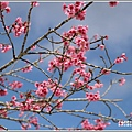 赤柯山櫻花-2019-03-123.jpg