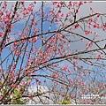赤柯山櫻花-2019-03-127.jpg