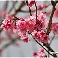 赤柯山櫻花-2019-03-130.jpg