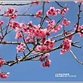赤柯山櫻花-2019-03-131.jpg