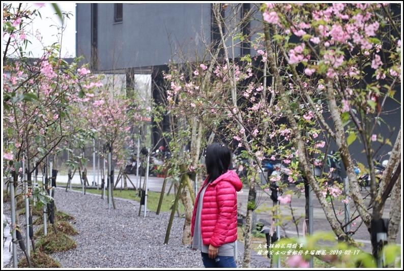 安永心會館停車場櫻花-2019-02-21.jpg