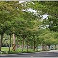 花蓮193春日小葉欖仁隧道-2019-03-06.jpg