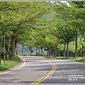 花蓮193春日小葉欖仁隧道-2019-03-09.jpg