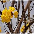 瑞北台9線黃花風鈴木-2019-04-002.jpg