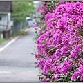 瑞祥社區街景(九重葛)-2019-03-06.jpg