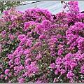 瑞祥社區街景(九重葛)-2019-03-07.jpg