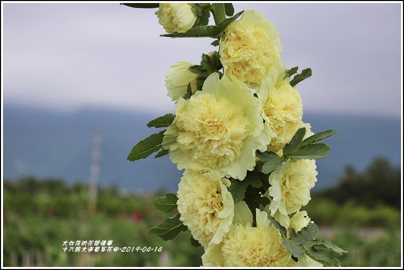 十六股大道蜀葵花田-2019-04-23.jpg