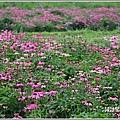 吉安紫錐花-2019-04-05.jpg