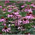 吉安紫錐花-2019-04-09.jpg