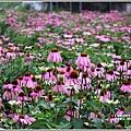 吉安紫錐花-2019-04-16.jpg