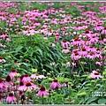 吉安紫錐花-2019-04-18.jpg